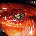 Tomato Frog by Optical Playground By MP Ray