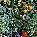 Tomato Garden. by Oscar Williams