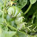 Tomatoe Hornworm by Janice Byer
