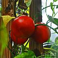 Tomatoes Closely by George D Gordon III