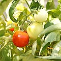 Tomatoes On The Vine by Kerri Mortenson