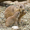 Too Cute Prairie Dogs by Chris Scroggins