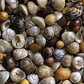 Topshells Whelk And Periwinkle Shells by Duncan Usher