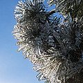 Toronto Ice Storm 2013 - Pine Needle Flowers In The Sky by Georgia Mizuleva