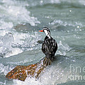 Male Torrent Duck by James Brunker