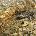 Torrent Treefrog Aka Waterfall Frog by Martin Willis