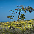 Torrey Pine On The Cliffs At Torrey Pines State Natural Reserve by Randall Nyhof