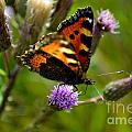 Tortoise Shell Butterfly by Scott Lyons