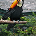 Toucan by Christiane Schulze Art And Photography