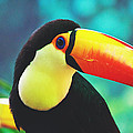 Toucan by Pati Photography