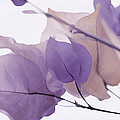 Touch Of Lavender Bougainvillea by Fraida Gutovich
