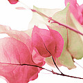 Touch Of Pink Bougainvillea by Fraida Gutovich