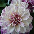 Touch Of Pink Dahlia by Nicki Bennett