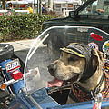 Tourist Dog by Karen Zuk Rosenblatt