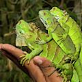 Tourist With Juvenile Green Iguanas by William Sutton