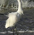 Tousled Egret by Christiane Schulze Art And Photography