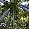 Towering Bamboo by Holly Blunkall