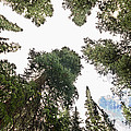 Towering Pine Trees by James BO  Insogna