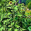 Towering Sunflowers by Tara Potts