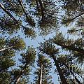 Towering White Pines by Barbara McMahon