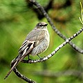 Townsend's Solitaire by Marilyn Burton