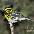 Townsends Warbler by Anthony Mercieca