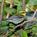 Townsends Warbler In Tree by Anthony Mercieca