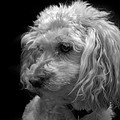Toy Poodle by Nathan Abbott