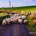 Traffic Jam Of Sheep by Thomas R Fletcher