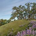 Trail Of Lupine by Greg Nyquist