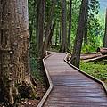 Trail Of The Cedars by Darlene Bushue