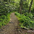 Trail To Chimney Tops - D005669a by Daniel Dempster