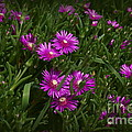 Trailing Ice Plant by Trish H
