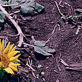 Trampled Sunflower by Alice Gipson