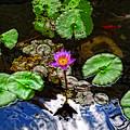 Tranquility - Lotus Flower Koi Pond By Sharon Cummings by Sharon Cummings