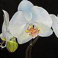Translucent Orchids by Sandra Nardone