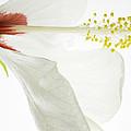 Transparent Hibiscus by James Ekstrom