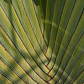 Traveller's Palm Patterns Dthb1543 by Gerry Gantt