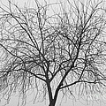 Tree Abstract In Black And White by James BO  Insogna