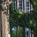 Tree And Ivy Windows Michigan State University by John McGraw