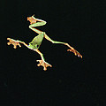 Tree And Leaf Frog Jumping by Michael and Patricia Fogden