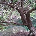 Tree At Boat House by Anita Adams
