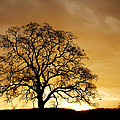 Tree At Golden Sunrise by Robert Woodward
