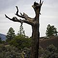 Tree At Lava Trail by David Gordon