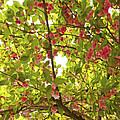 Tree Blossom 1 by Joseph Hedaya