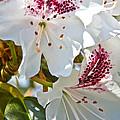 Tree Blossom by Dan Sabin