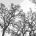Tree Branches by Frank Wilson