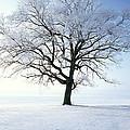 Tree Covered In Hoar Frost by David Davis