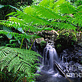 Tree Fern And Waterfall by Thomas R Fletcher