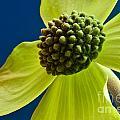 Tree Flower II by Ben Baucum